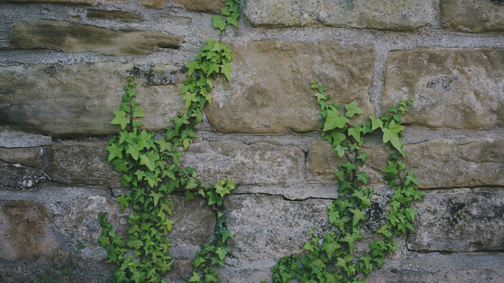 Background Photo - Stone Wall with Ivy